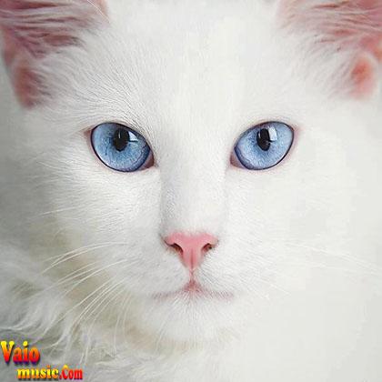 صدای گربه